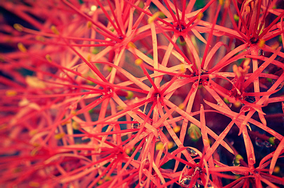 Buy a print of a may flower in fiery red full bloom, as photographed by Naina Redhu
