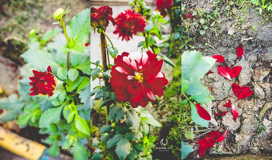 Naina.co-Winter-Flowers-Dahlia-Marigold-Raconteuse-Storyteller-Photographer