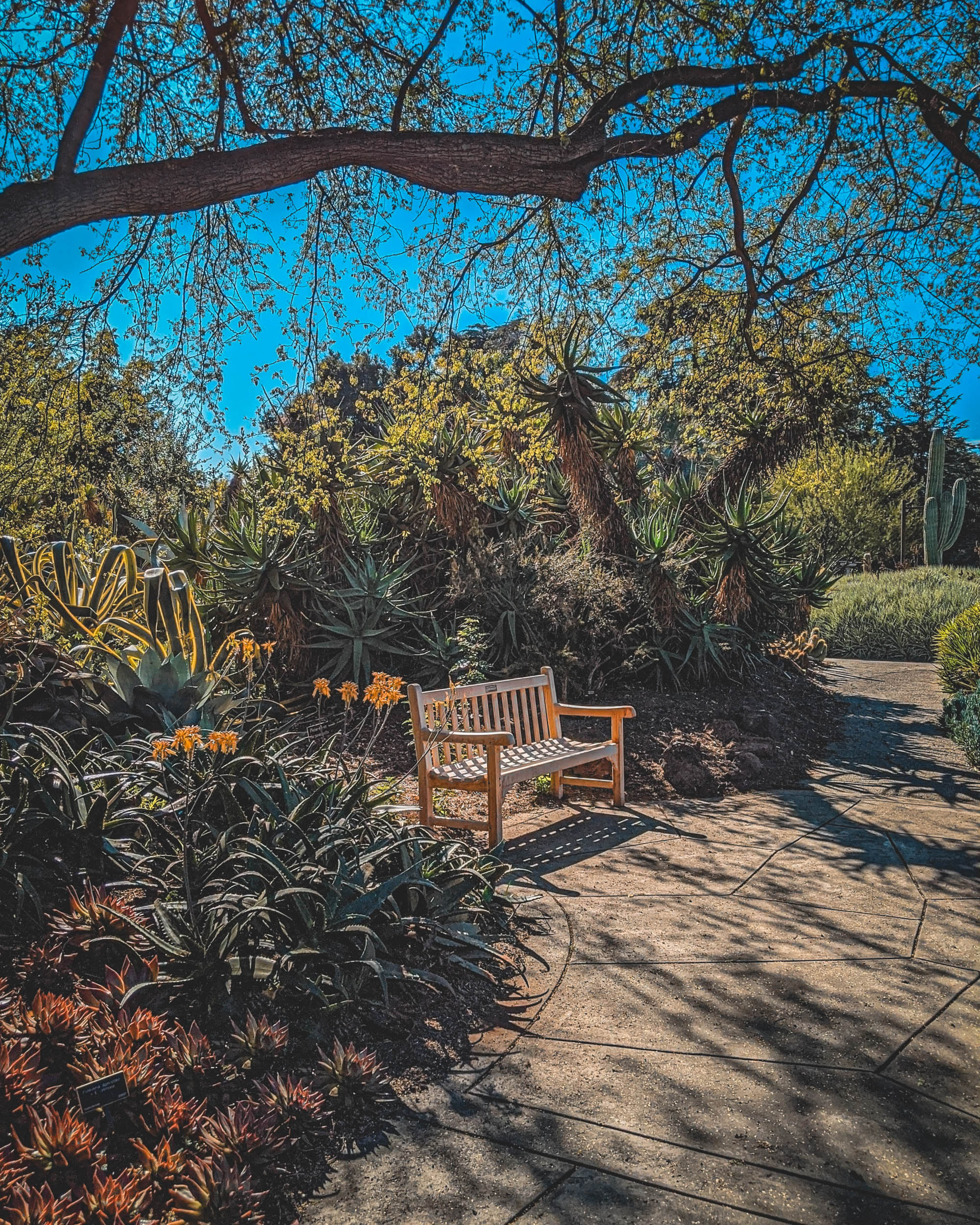 #EyesForLA, America, Los Angeles, naina redhu, naina.co, usa, huntington library and botanical gardens, huntington botanical gardens, huntington botanical gardens los angeles, succulents, cactus, cacti, garden benches, sunset, desert garden, haworthia, haworthiopsis, gasteria, prickly pear, plants, trees, conservation, ecology, orchids, chrysanthemums, flower show, flowers, cactus flowers, stinky flowers, california, california plants, agave, aloe vera, succulent garden, finger lime, eyesfordestinations, eyes for destinations, koi pond, fish, flower photography, plant photography, flower close-ups, plant close-ups, succulent close ups, succulent photography, lifestyle photographer, travel photographer,